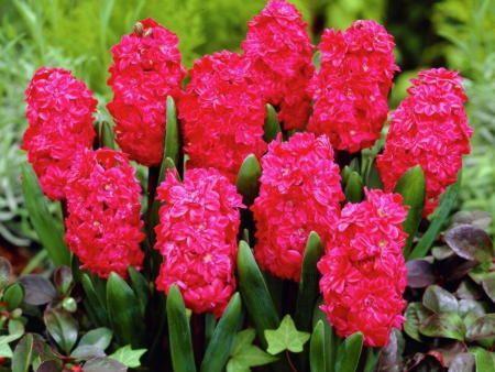 цвітіння гіацинта