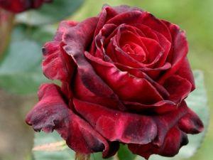 Догляд за трояндами в саду. Як виростити трояндовий кущ самому?