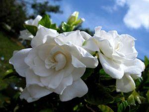 Догляд за вимогливим квіткою гарденії