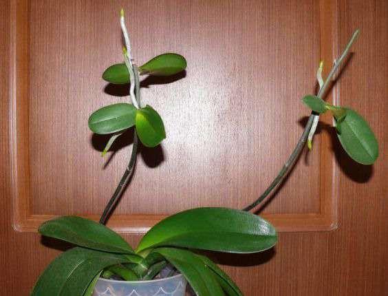 Орхідея і її дітки: розмноження, посадка і догляд
