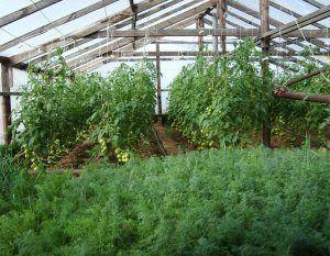 Вирощування кропу і петрушки в теплиці