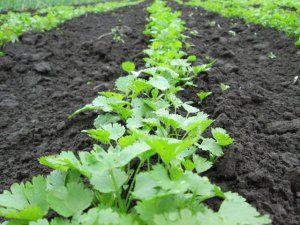 Технологія вирощування кропу і петрушки в теплиці