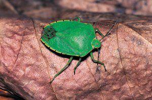 Вуличні клопи - лісовий, зелений, деревне, ягідний: опис видів з фото, ніж шкідливі і як від них позбавитися