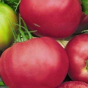 Унікальний гібрид з голландії - томат «пінк унікум»: опис сорту і фото