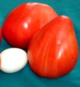 Унікальний холодостійкий сорт томат-велетень «важковаговик сибіру», його опис і характеристики