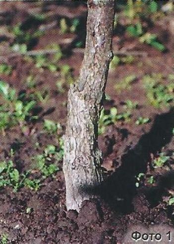 Потовщення стовбура дерева, його причини, можливості усунення причин