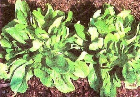 Валеріанелла - фельдсалат, рапунцель, польовий салат, ягнятская трава - однорічна овочева культура