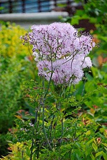 Василисник - красиво квітуча рослина, ботанічні особливості, агротехніка