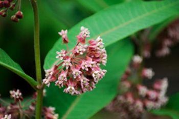 Ваточник каучуконос, медонос, ліки, квітка, біологічні особливості, догляд