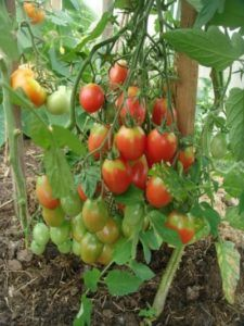 Чудовий фаворит дачників томат «чіо чіо сан»: опис сорту, характеристика, фото