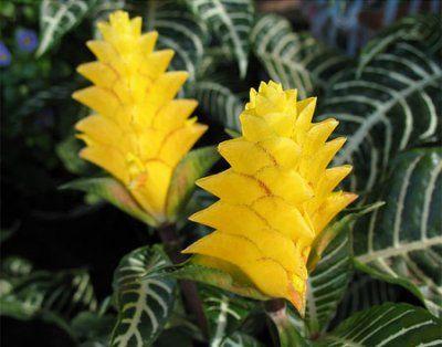Чудовий кімнатна квітка афеландра: фото і нюанси догляду