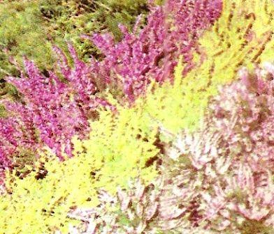 Верес в дизайні саду, його корисні властивості