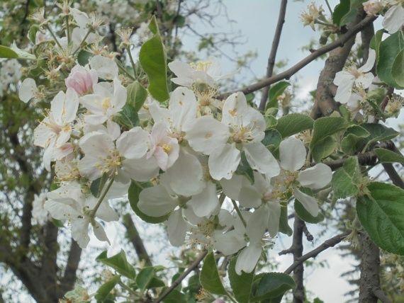 Весняний догляд за яблунею