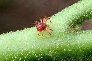 Види павутинного кліща: як розпізнати шкідливого паразита?