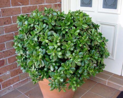 Види суккулента толстянка (грошове дерево): химерні рослини на підвіконні