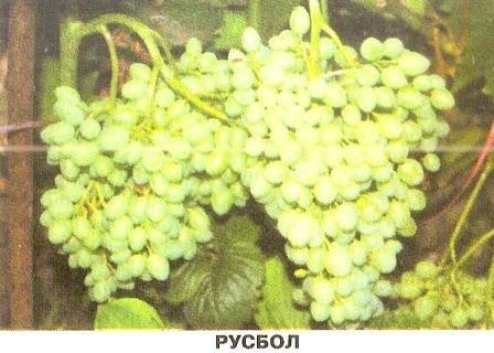 Виноград русбол для початківців виноградарів і інші ранні сорти винограду для північних регіонів