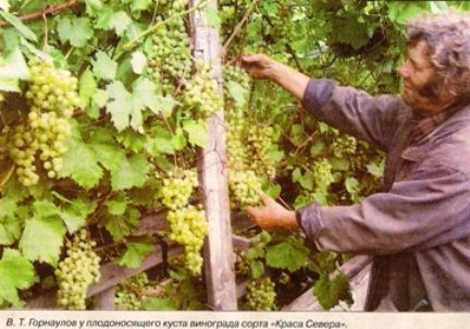 Виноград: технології горнаулова, місто междуреченск