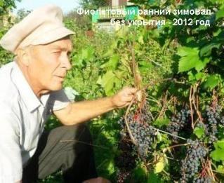 Виноград в наших садах, виноград в сибіру