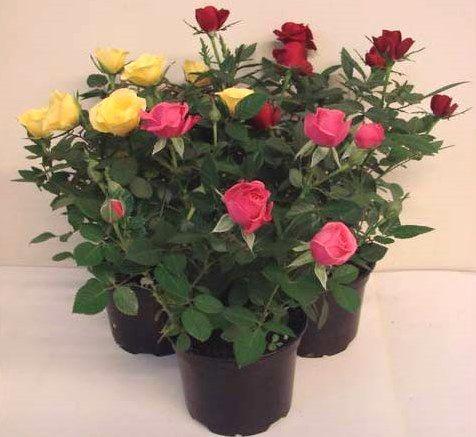 В`януть і обпадають листя у кімнатної троянди