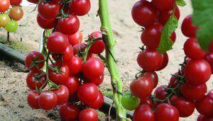 Смачний і примхливий гібрид f1- сорт томата «черрі ира»! Фото, опис і рекомендації по посадці і догляду
