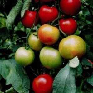 Смачний і гарний гібридний томат «святковий»
