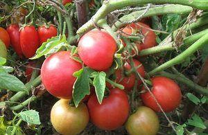 Смачний і гарний томат «рожева перлина» нікого не залишить байдужим. Опис сорту помідора з фотографіями