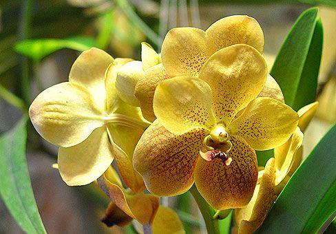 Чудова орхідея ванда: догляд в домашніх умовах, розмноження