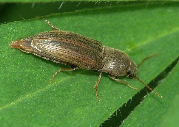 Фото жука-Щелкунов дротяники