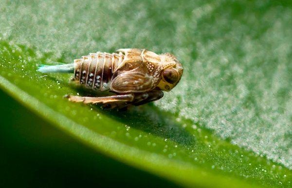 стрибуча цикада
