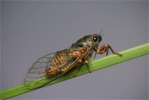 Фото гірської цикади