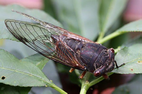 Чим харчується співоча цикада?
