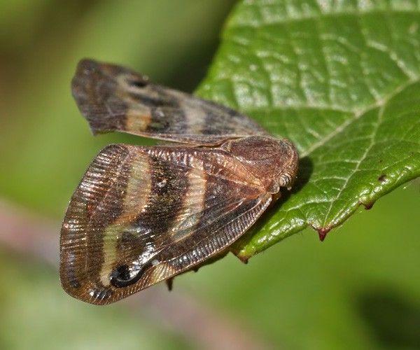 Японська метелик