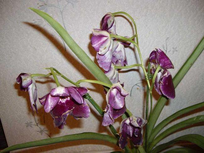 Шкідники орхідеї (трипси, павутинний кліщ, попелиця та інші) і ефективні способи боротьби з ними