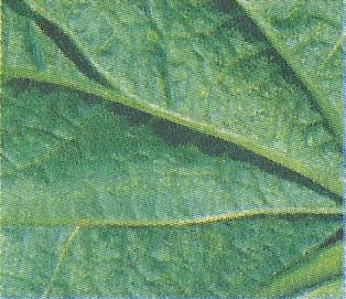 Шкідники гарбузових культур, заходи профілактики та боротьби