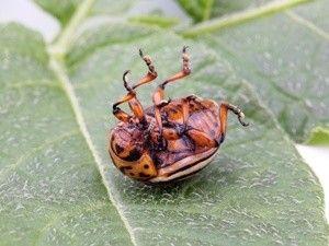 Все що потрібно знати про препарат танрек від колорадського жука