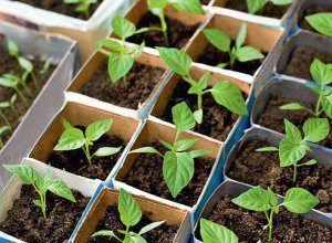 Всі нюанси вирощування перцю солодкого з насіння в домашніх умовах: підготовка перед посадкою і догляд за розсадою