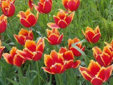 Вибір місця і грунту для тюльпанів