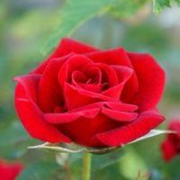 Прості способи розмноження троянд живцями