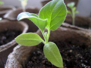 Вирощування баклажанів: посадка і догляд за розсадою, підбір грунту і тари, правильний полив і підгодівля, пікіровка і пересадка
