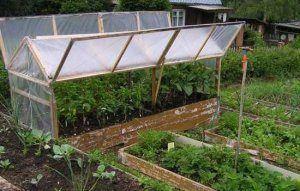 Вирощування баклажанів в теплиці з полікарбонату: підбір кращого сорту, догляд і підживлення