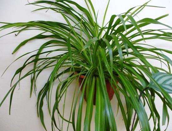 Вирощування хлорофітума в домашніх умовах