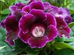 Вирощування і догляд за квітами глоксиния