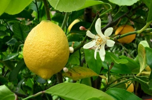 Вирощування лимона будинку: розмноження живцями