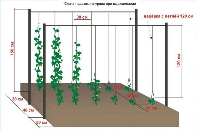 умови вирощування огірків