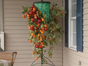 Вирощування помідорів вгору корінням