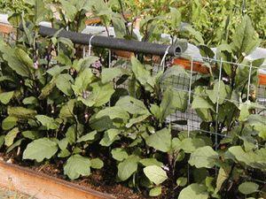 Вирощування розсади баклажан