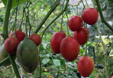 Вирощування томатного дерева в домашніх умовах