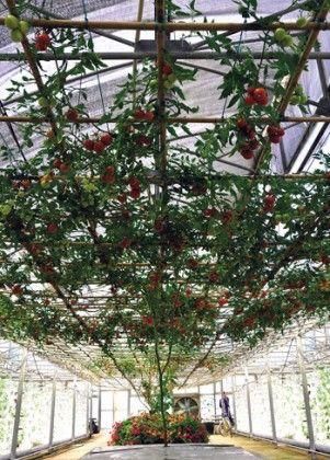 Вирощування томатів з роздільним водним і органічним харчуванням