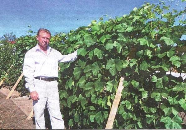 Вирощування винограду в сибіру