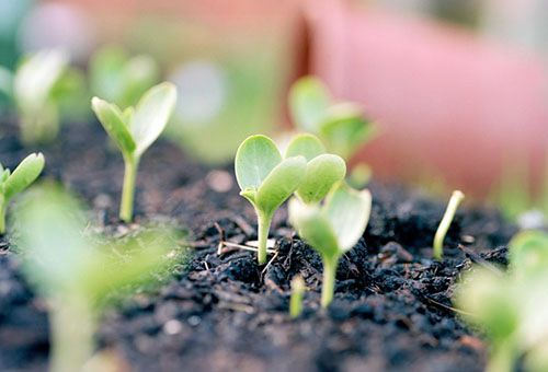 Висаджування кавунової розсади і догляд за нею у відкритому грунті